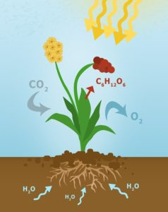 photosynthse plante